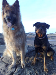 german shepherd and rottweiler carnoustie